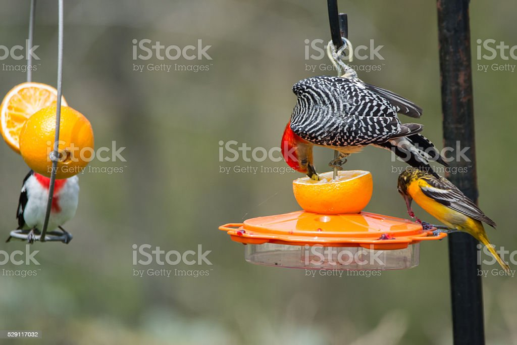 Red-bellied Woodpecker, Baltimore Oriole, and Rose-breasted Gros stock photo