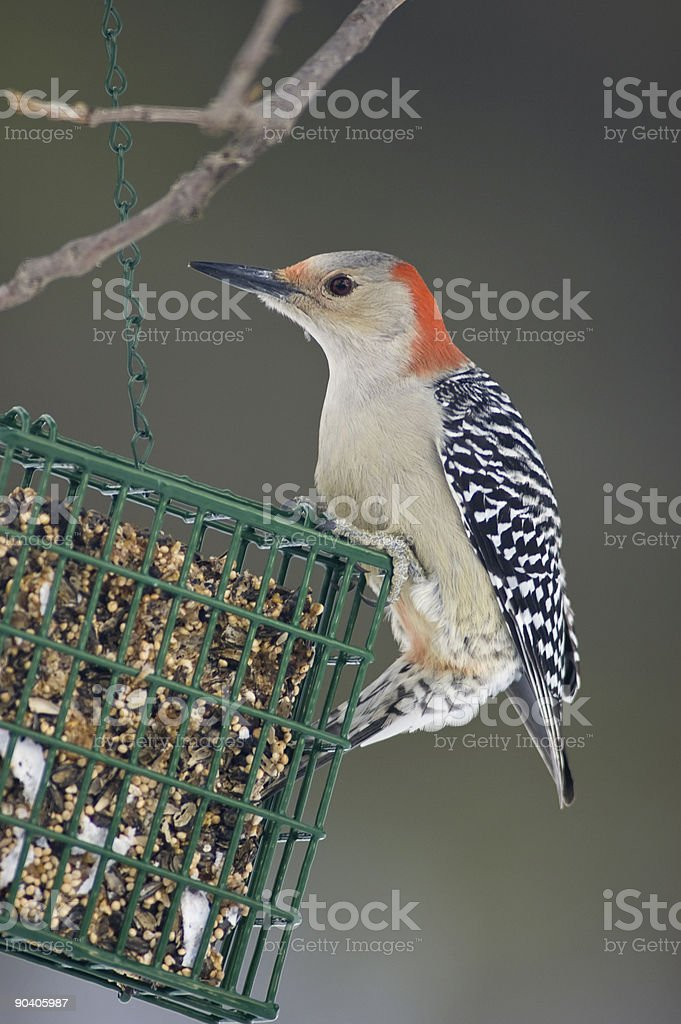 Red-Bellied Woodpecker Hangs from a Feeder royalty-free stock photo