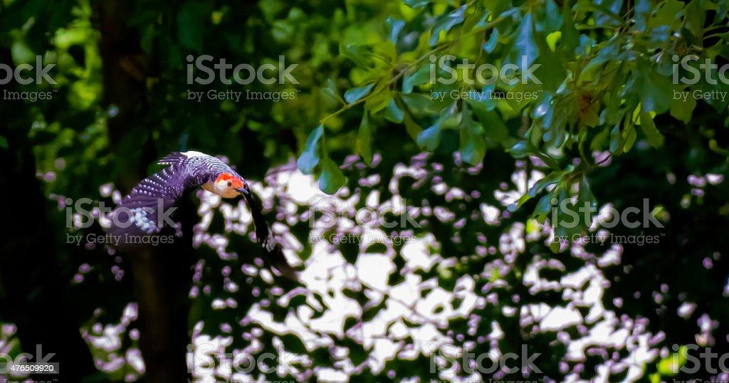 Carpintero de vientre rojo en vuelo foto de stock libre de derechos