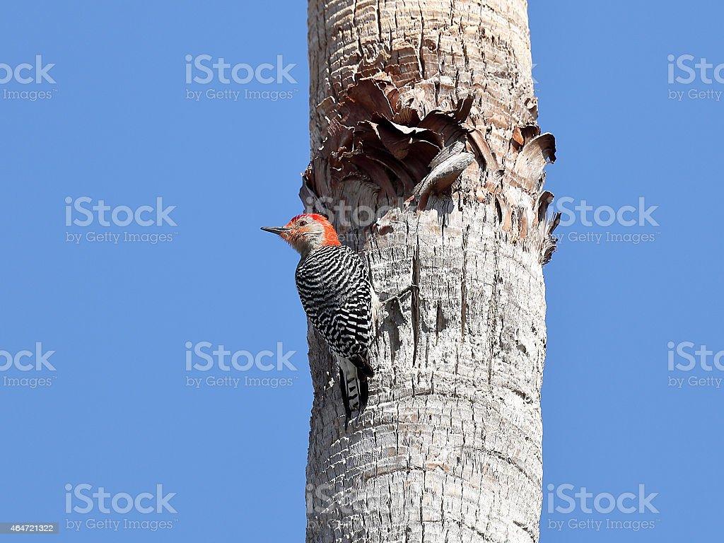 Red-bellied Woodpecker, Melanerpes carolinus, on a palm trank stock photo