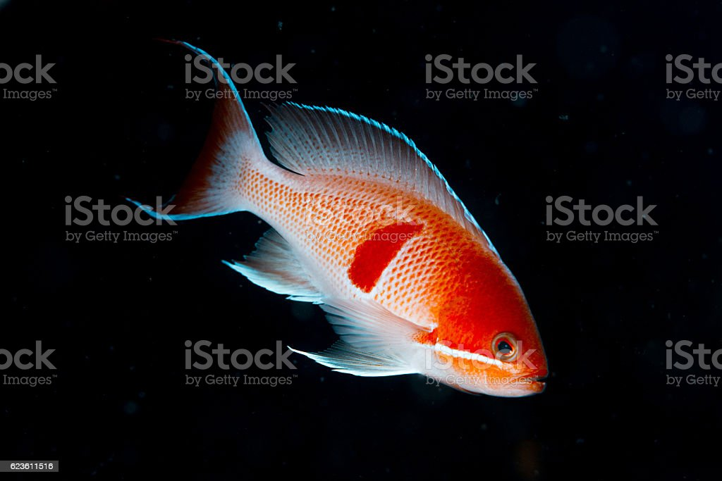 Red-belted anthias stock photo