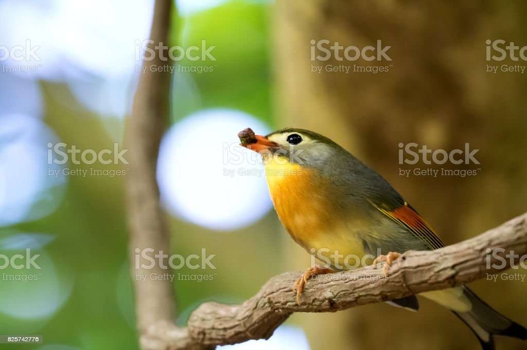Red-billed leiothrix holding a fruit in hill forest stock photo