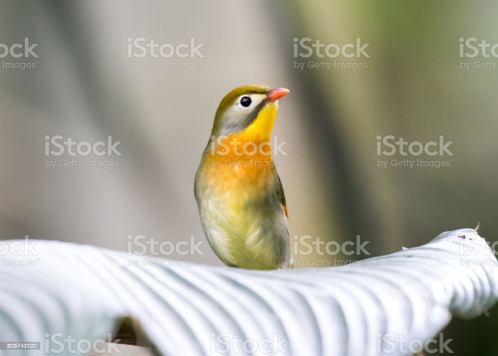 Red-billed leiothrix singing in hill forest stock photo