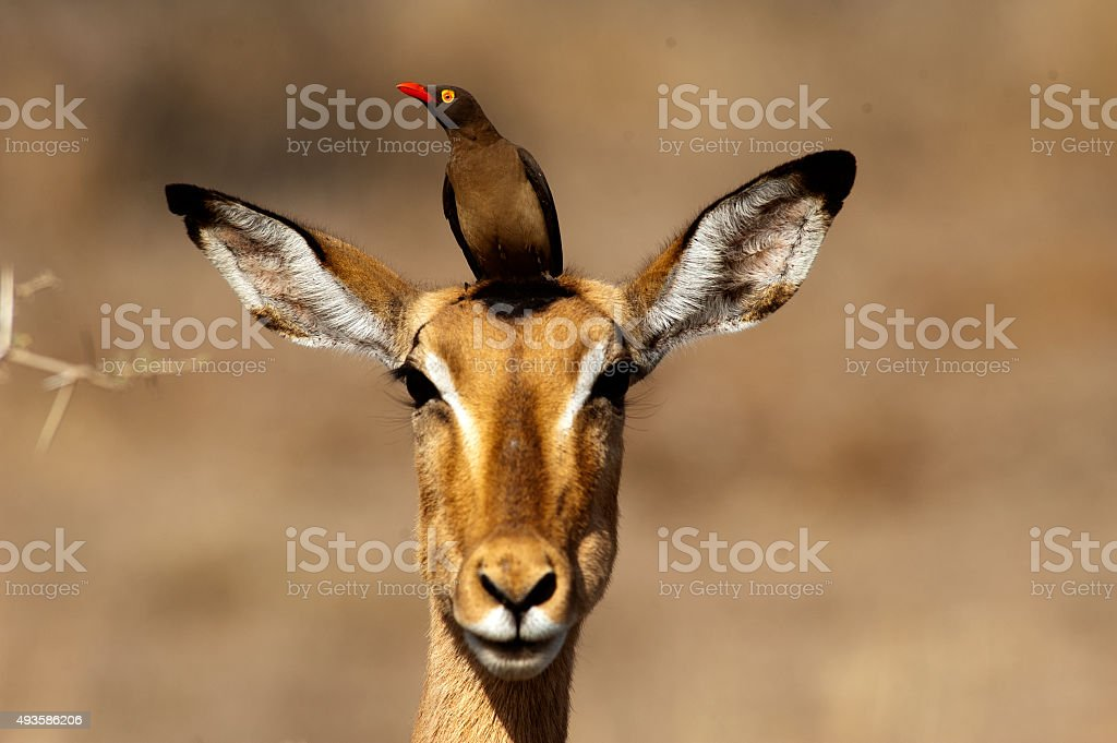 Red-billed oxpecker rest on the impala head stock photo