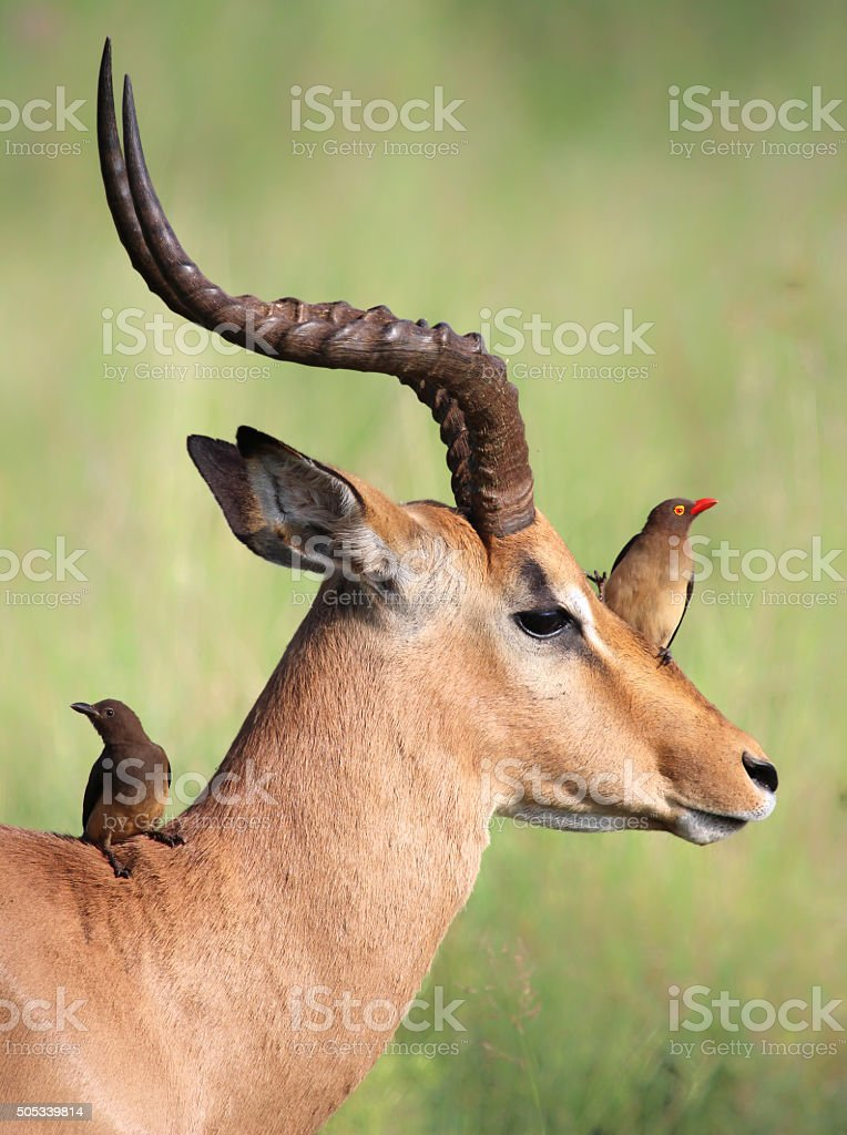Red-billed Oxpeckers sitting on male Impala stock photo