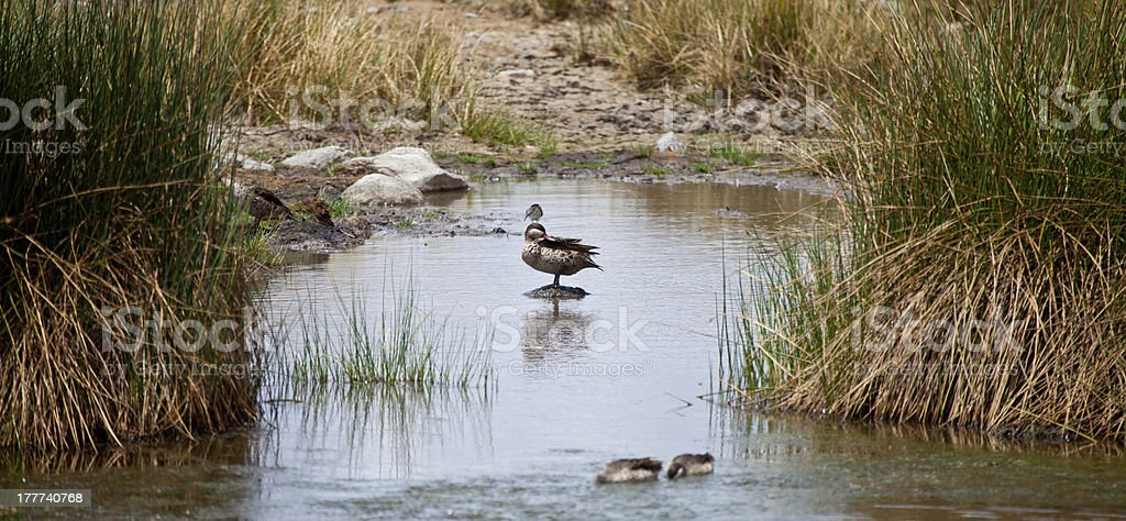 Red-billed Teal stock photo