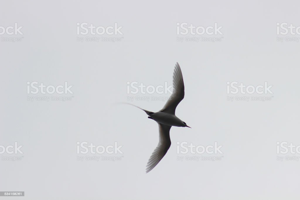 Red-billed Tropicbird in flight stock photo