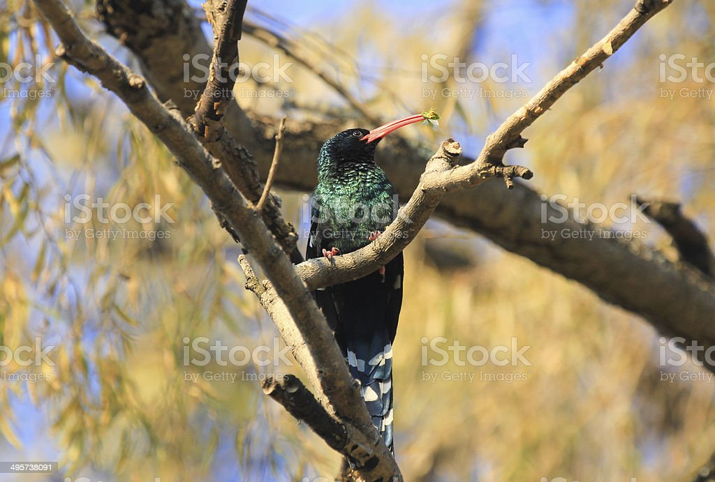 Redbilled Woodhoopoe in Royal Natal National Park, South Africa stock photo
