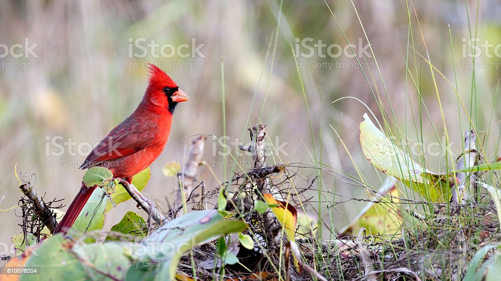 Redbird, Cardinalis cardinalis, male in the bush stock photo