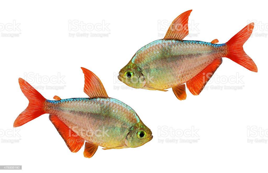 red-blue Columbian Tetra Hyphessobrycon columbianus aquarium fish isolated stock photo