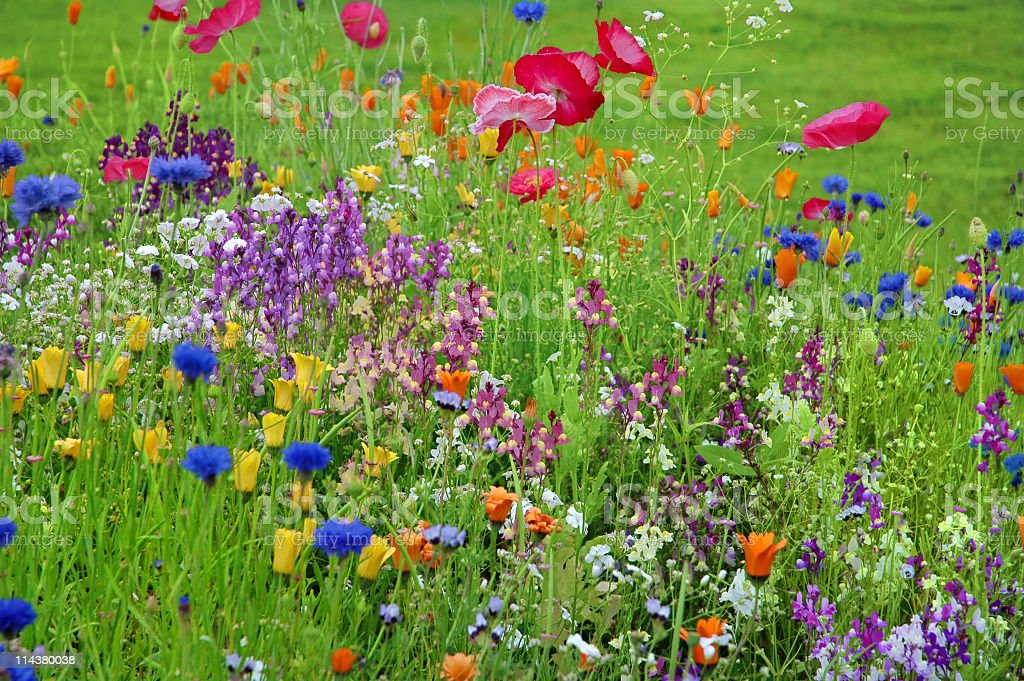 Red,blue,yellow,orange wildflowers in the meadow royalty-free stock photo