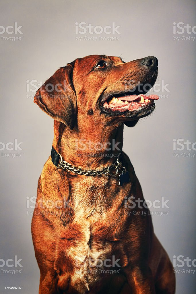 Redbone Coonhound royalty-free stock photo