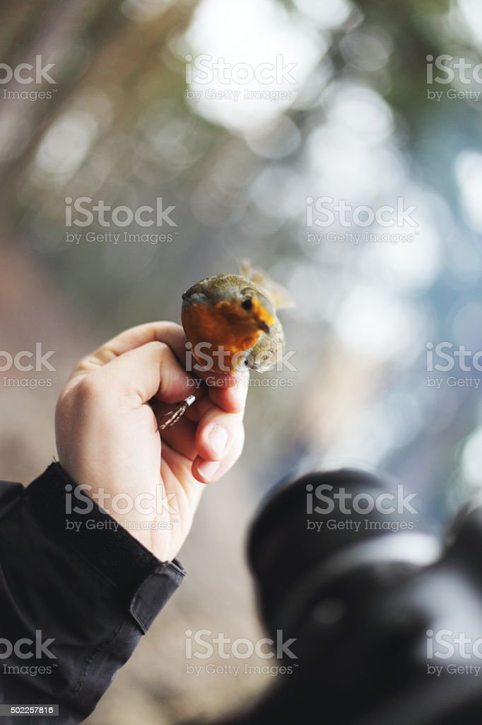 redbreast royalty-free stock photo
