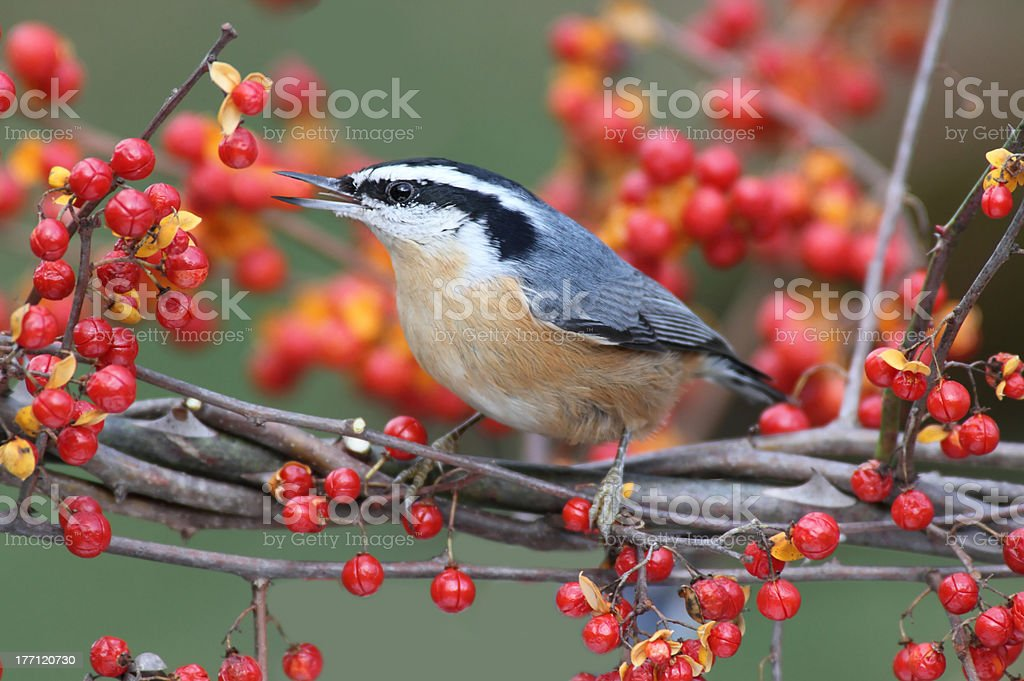 Red-breasted Nuthatch On Bittersweet stock photo
