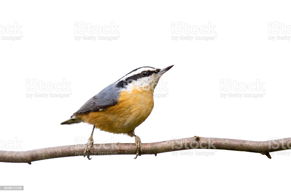 red-breasted nuthatch perched on a branch in search of food stock photo