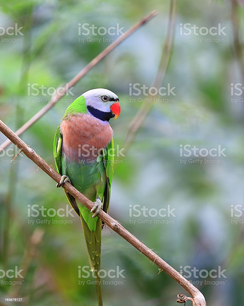 Red-breasted parakeet royalty-free stock photo