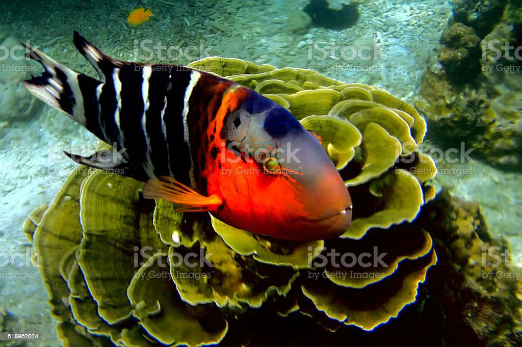 Redbreasted wrasse stock photo