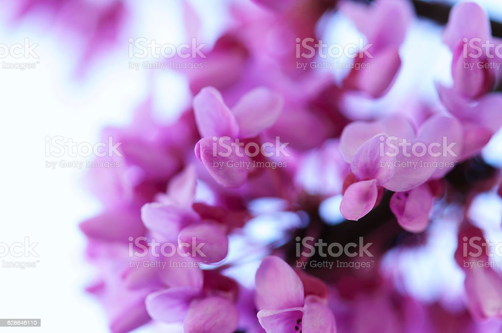 Redbud Blossom stock photo