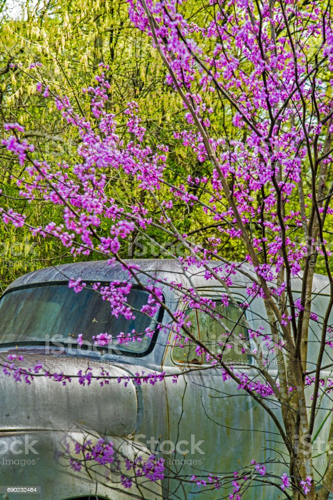 Redbud Tree blooms frame an old vintage truck. stock photo