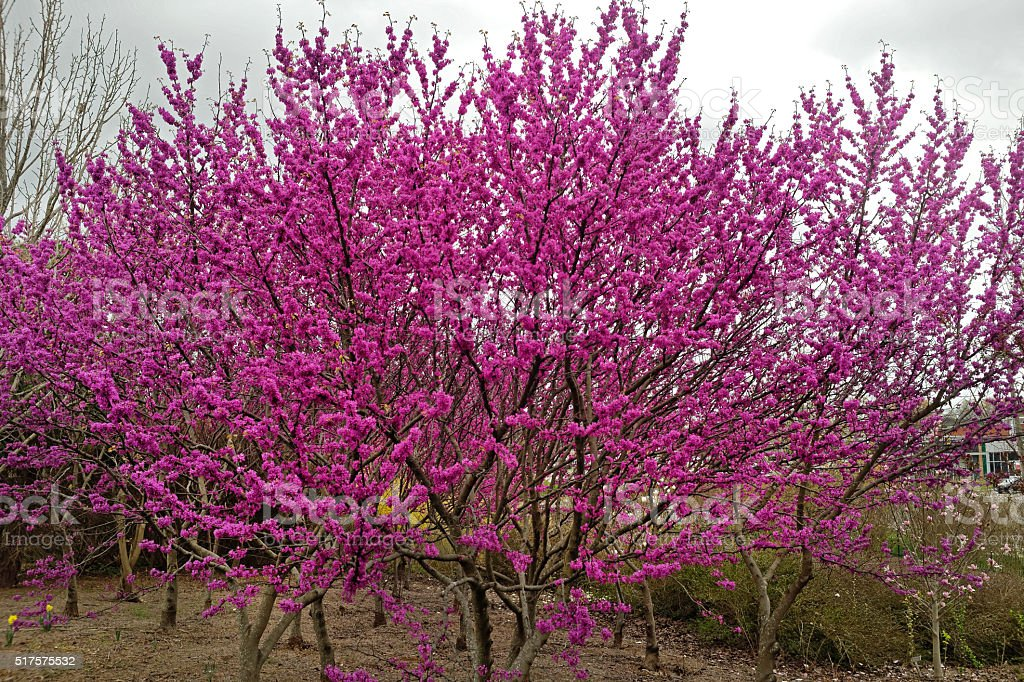 Redbud Trees stock photo