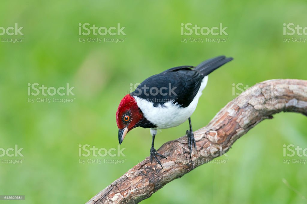 Red-capped Cardinal stock photo