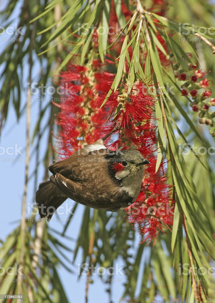 Red-cheeked bulbul on red flowering tree, Corbett NP India stock photo