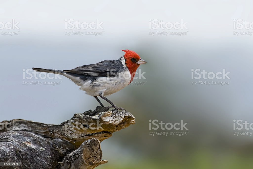 Red-Crested Cardinal royalty-free stock photo