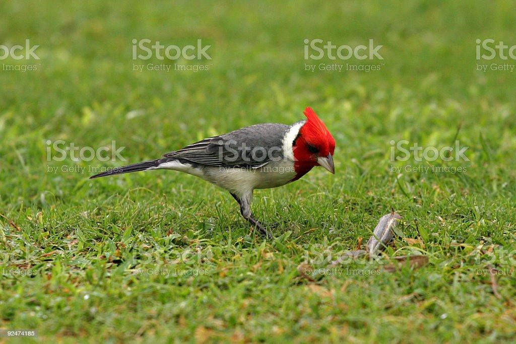 Red-Crested Cardinal (Paroaria coronata) stock photo