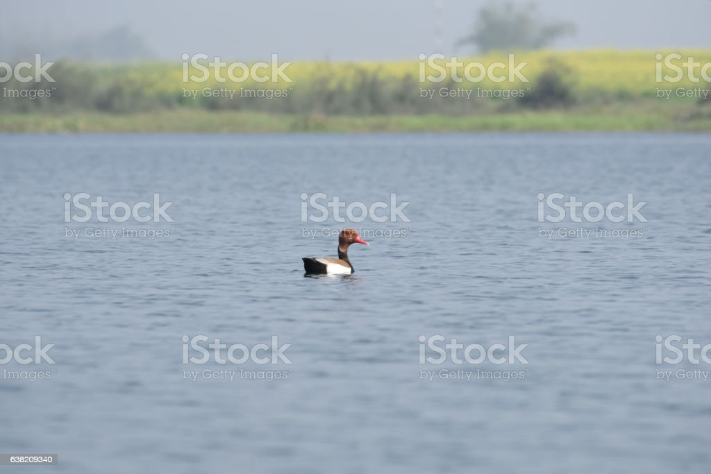 Red-crested Pochard, bird, Diving duck stock photo