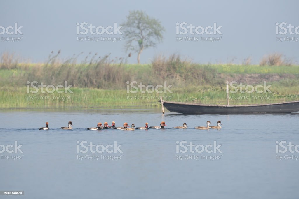Red-crested Pochard, bird, Diving duck, stock photo