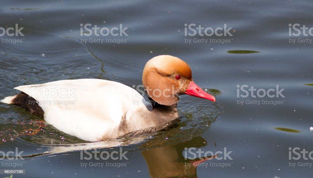 Red-crested pochard male stock photo