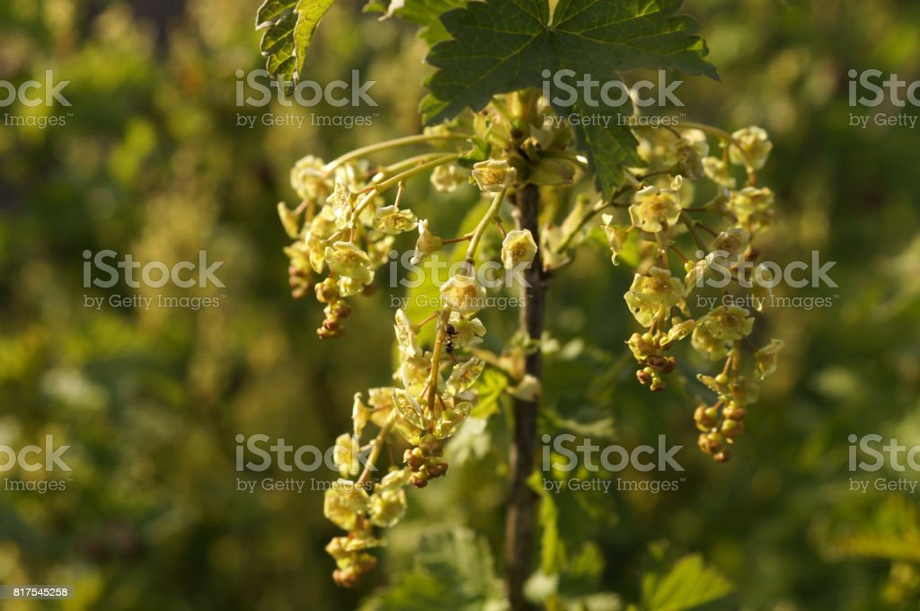 Redcurrant blossom in the spring garden stock photo