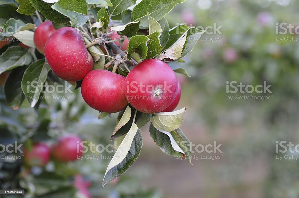 Redd Apples royalty-free stock photo
