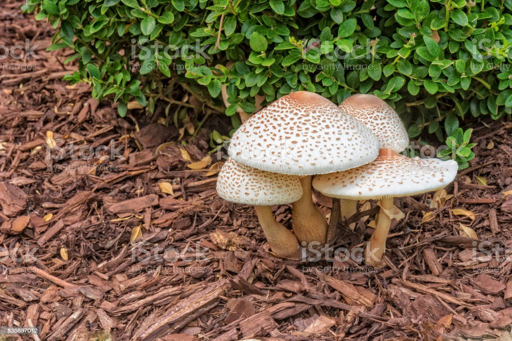 Reddening Lepiota - Mushrooms With Copy Space To The Left stock photo