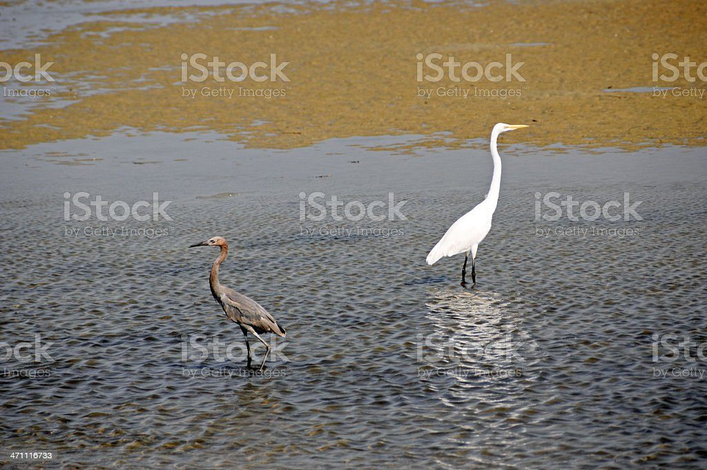 Reddish and Great Egrets in Tidal Pool stock photo