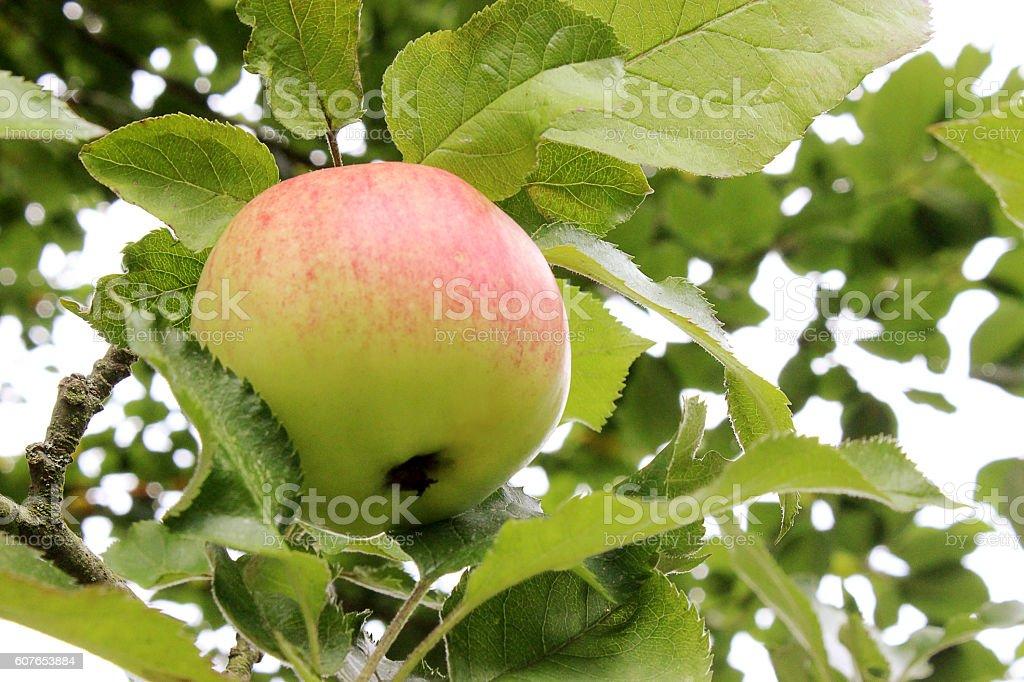 reddish apple in the tree stock photo