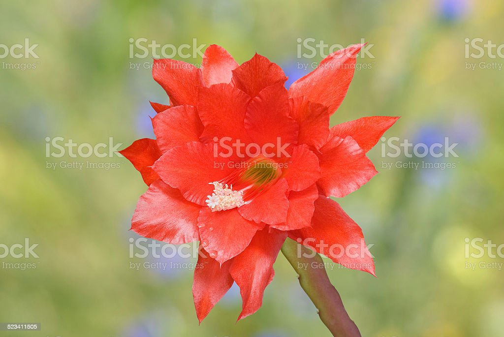Reddish cactus flower stock photo