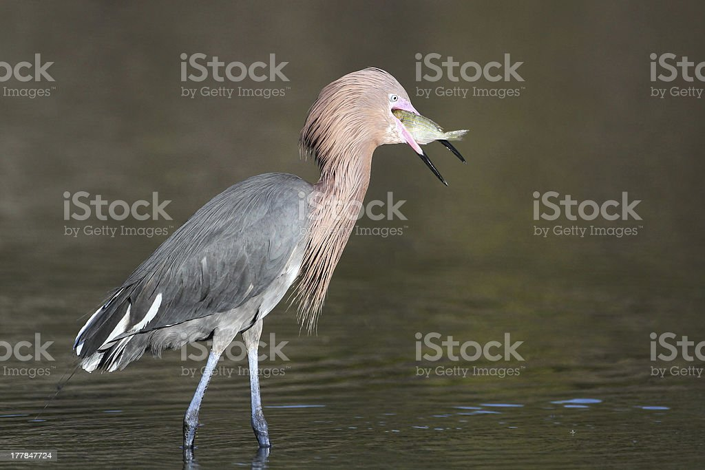 Reddish Egret - Catch of the Day royalty-free stock photo