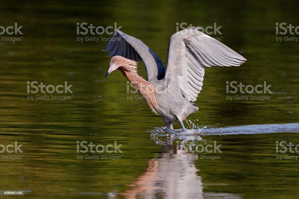 Reddish Egret (Egretta rufescens), Ding Darling NWR, Florida, USA stock photo