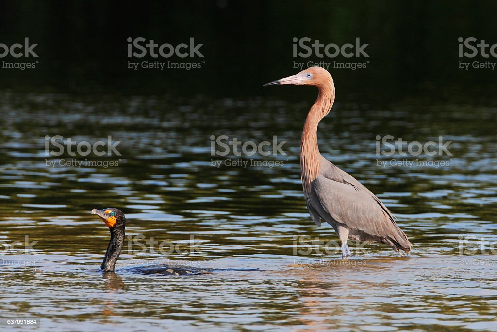 Reddish Egret (Egretta rufescens), Ding Darling NWR, Florida, USA stock photo