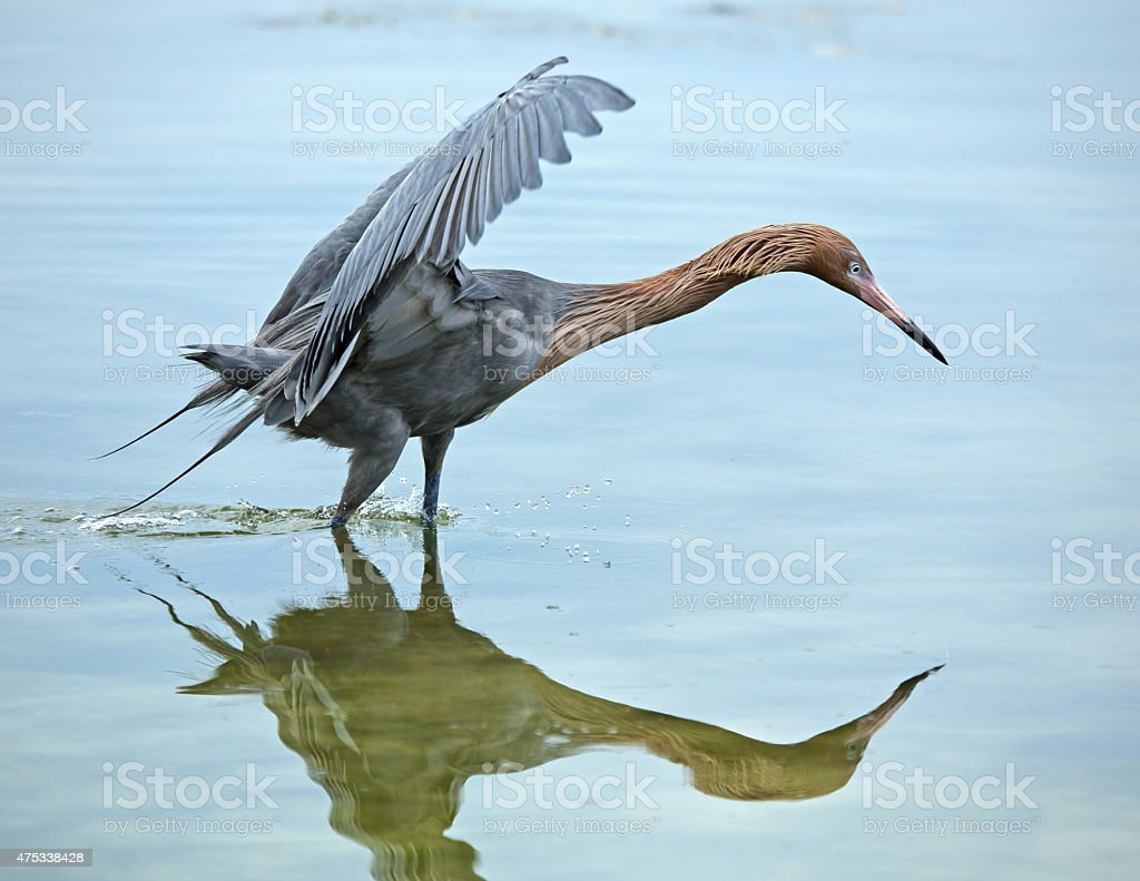 Reddish egret fishing with its wings raised and neck stretched. stock photo
