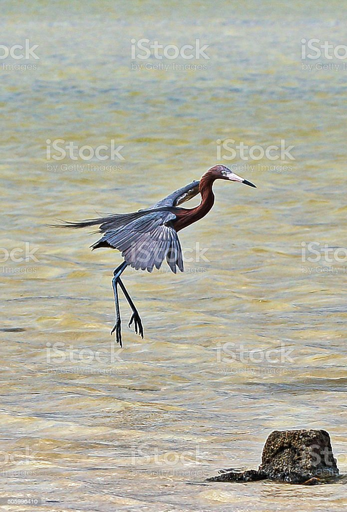 Reddish Egret flying low over Cancun's tidal waters stock photo