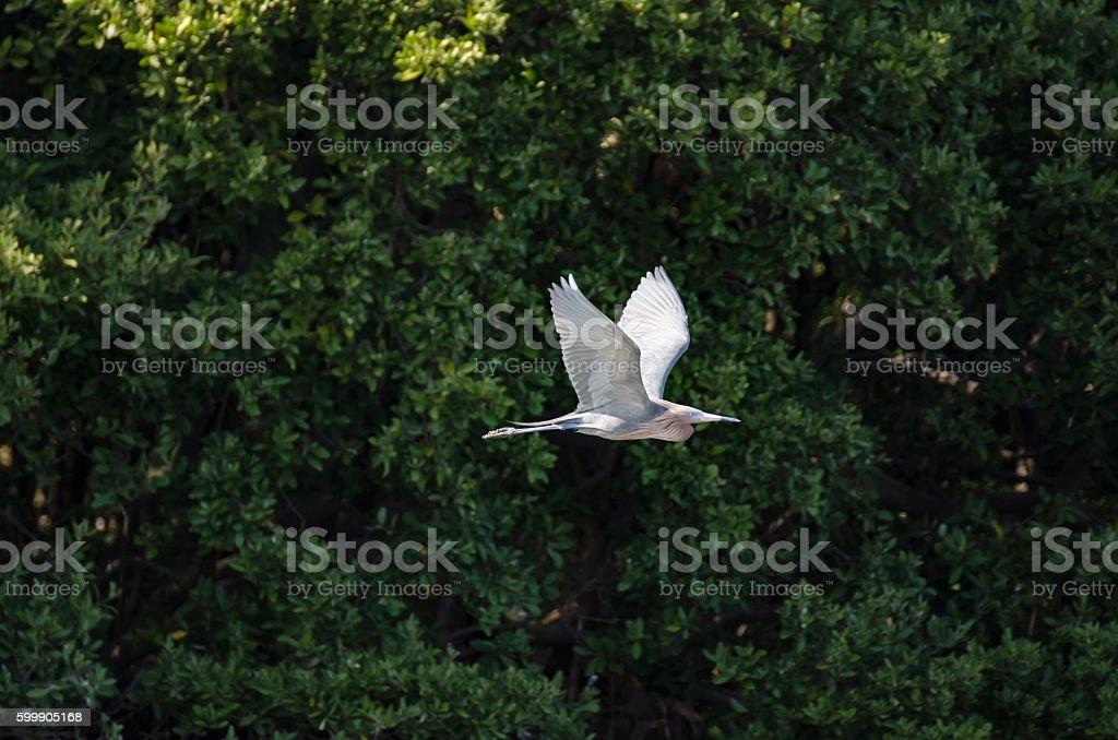 Reddish Egret flying past mangroves stock photo