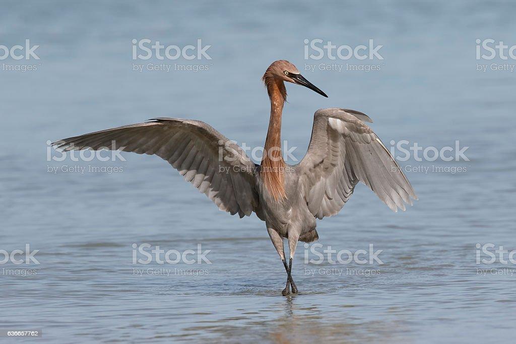 Reddish Egret foraging in a Florida tidal pool stock photo