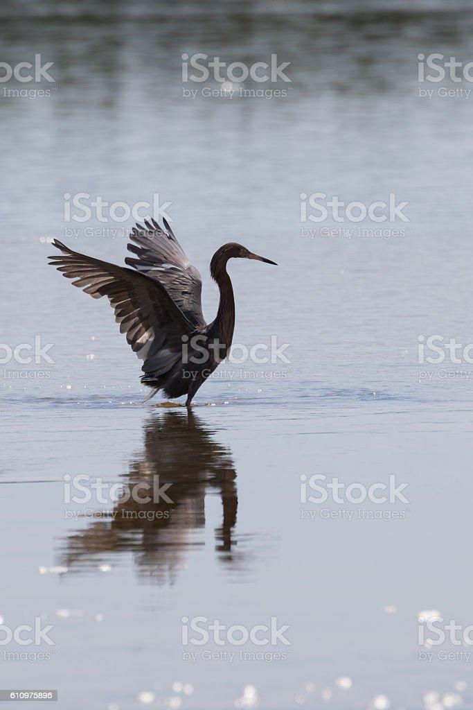 Reddish Egret Foraging stock photo