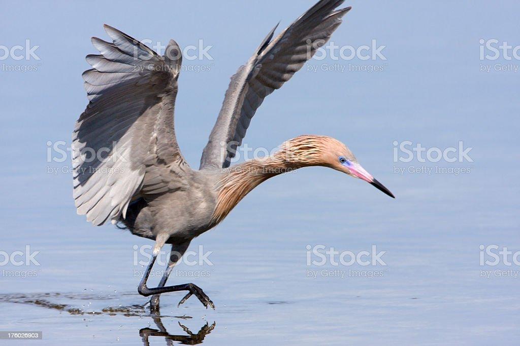 Reddish Egret - Hunting stock photo