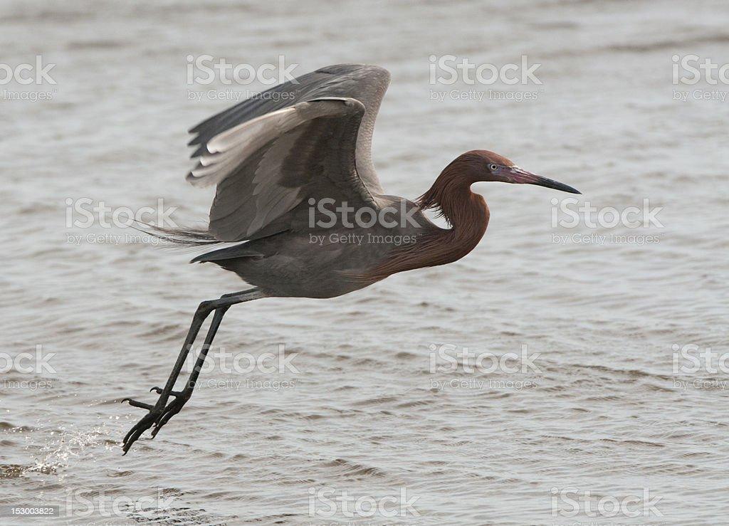 Reddish Egret in flight stock photo