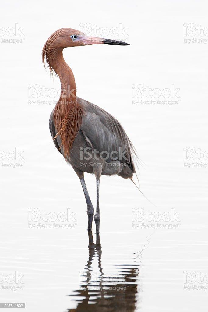 Reddish Egret (Egretta rufescens), Merritt Island NWR, Florida, USA stock photo