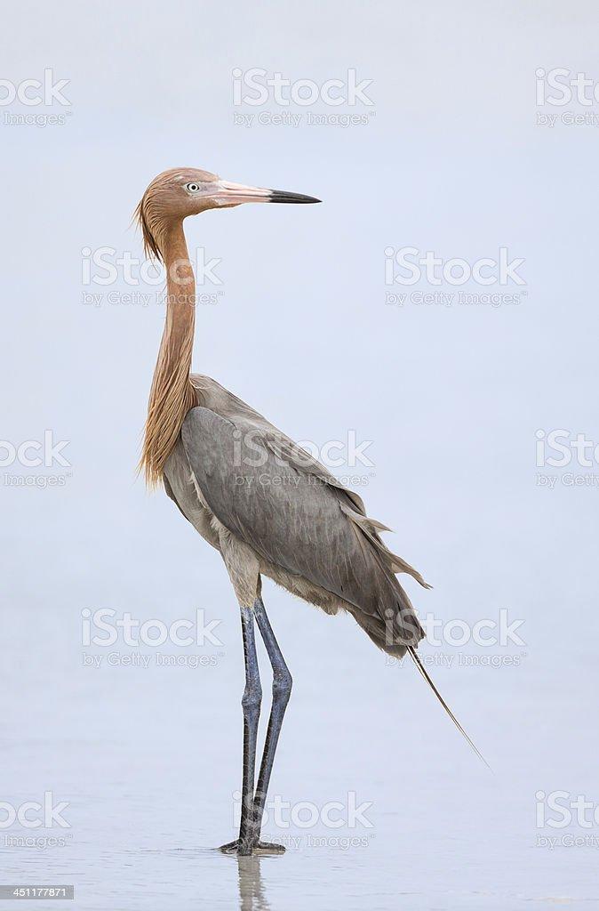 Reddish Egret royalty-free stock photo