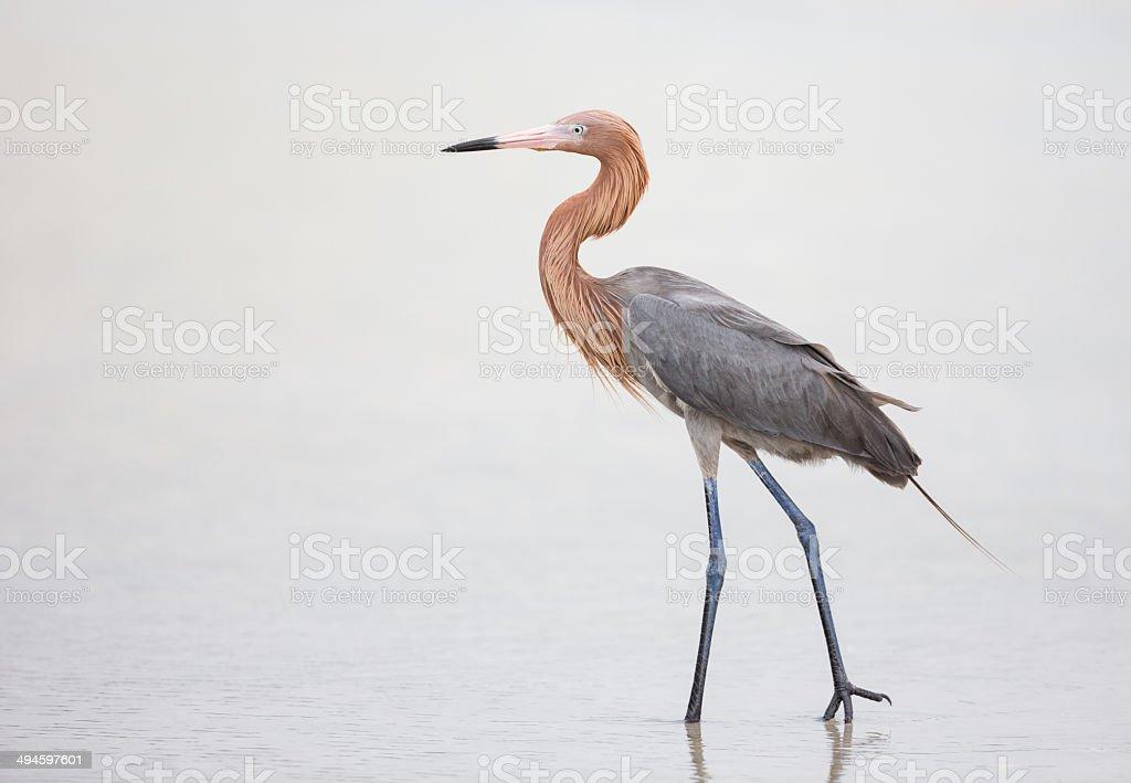 Reddish Egret stock photo